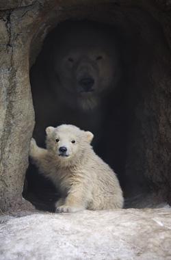 PolarBear+Cub
